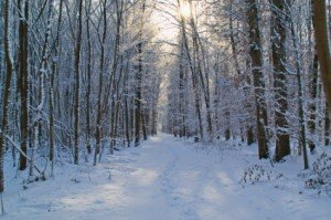 forest_snow_winter